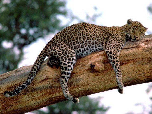 Long Week, Leopard, Tanzania